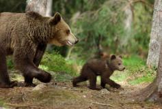 Carnet vert : un ours sera lâché dans les Pyrénées en mai 2016